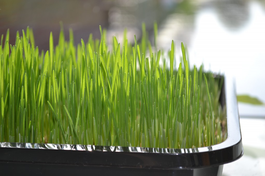 grow your own wheat grass